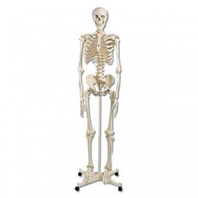 Menschliches Skelett (Standardversion)