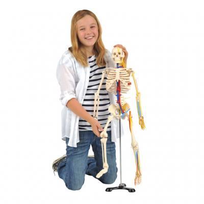 Kleines Skelett auf Stativ