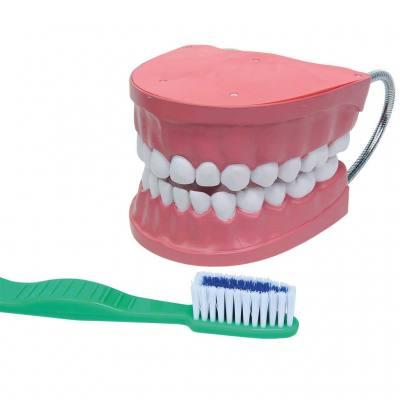 Riesen - Zahnpflegemodell